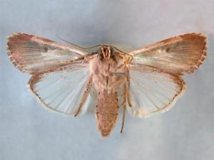 Spodoptera_litura_ventral