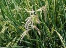 Waspadai Serangan Hama Penggerek Batang Padi (Rice Stem Borer), Penyebab Gejala Sundep dan Beluk..!