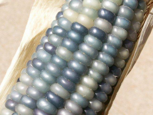jagung-osage-warna-kelabu