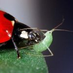 ladybugs-vs-aphids