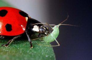 ladybugs-vs-aphids
