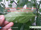Embun Tepung (Powdery Mildew) dan Beberapa Cara Pengendaliannya