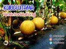 Kunci Utama Agar Buah Melon Besar Dan Berkualitas Tinggi